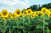 Sommer  gleich  Sonnenblumen