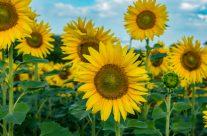 Sonnenblumen immer   Sommer