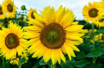 Sonne und  Sommerblumen
