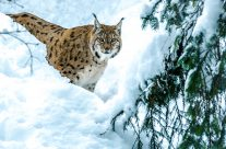 Die Luchse (Lynx) sind eine Gattung in der Familie der Katzen