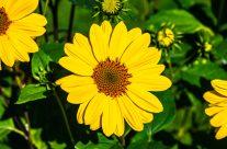 Kleine Sonneblume