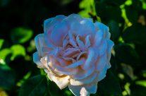 Rose mit Tau